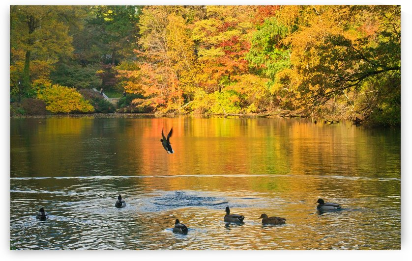 Ducks in Central Park by Michael Bancas