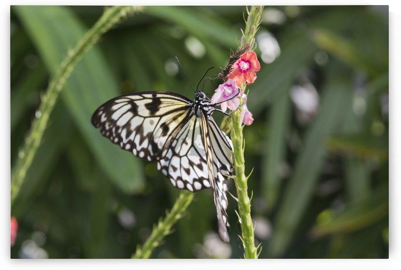 Butterfly by Ian Barr