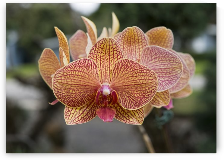 Orchids by Ian Barr