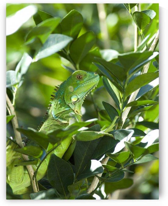 Green Iguana by Ian Barr