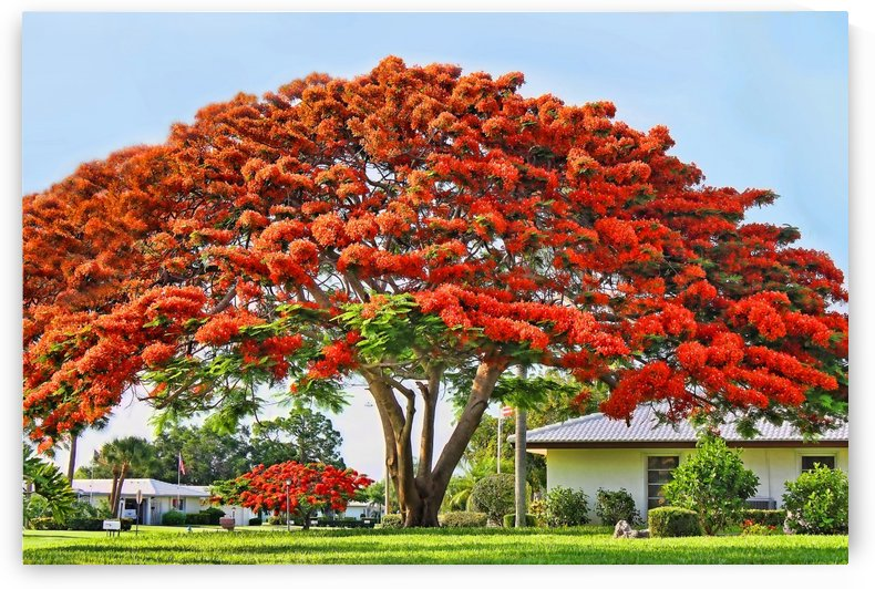 Royal Poinciana Tree by HH Photography of Florida