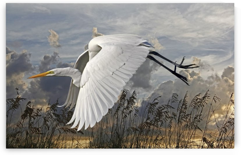 Beach Beauty-Great Egret by HH Photography of Florida