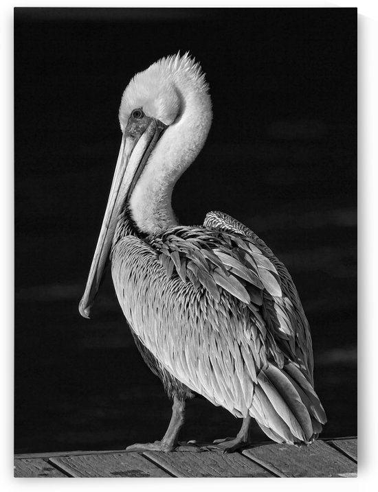 Pelican Portrait-Black And White by HH Photography of Florida