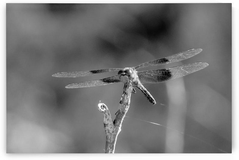 Nature Developed The Original Biplane.BW by Garald Horst