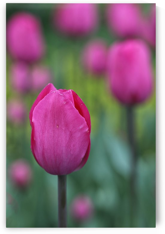 Pink tulip by Kaye