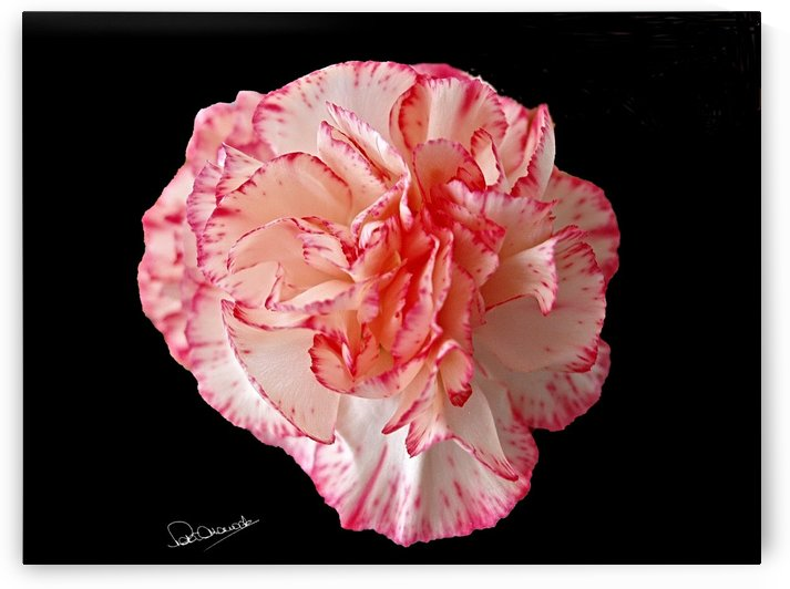 Red Tipped Camelia by Shadow and Form