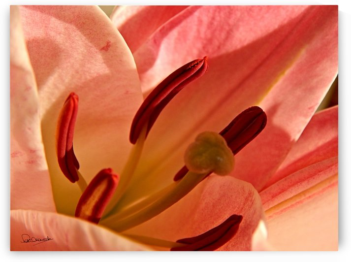 Red Lily Pollen by Shadow and Form