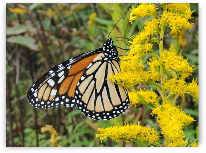 Butterfly 1 by HappyDewDrop