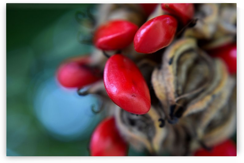 Red Magnolia Seeds by MDruba