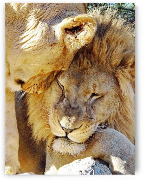 Lion Love 2514 by Thula-Photography