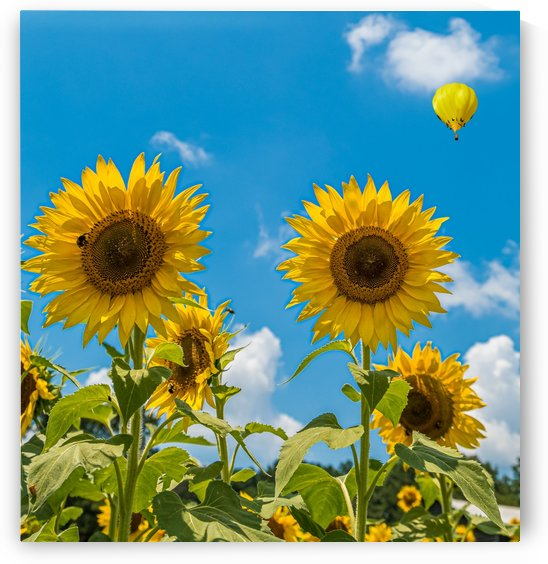 Two Sunflowers on Blue with Hot Air Balloon by Darryl Brooks
