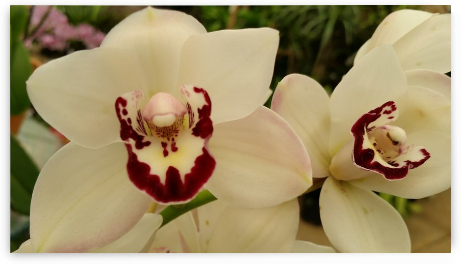 White Orchid Flowers Photography by Katherine Lindsey Photography