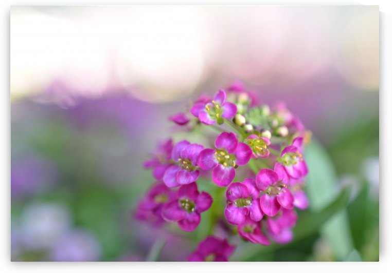 Pink Flowers Soft Photography by Katherine Lindsey Photography