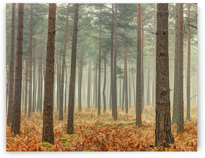 Forest with tall trees by AmilenaCollection