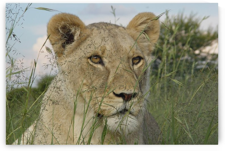 Lion in the gras 207 by Thula-Photography