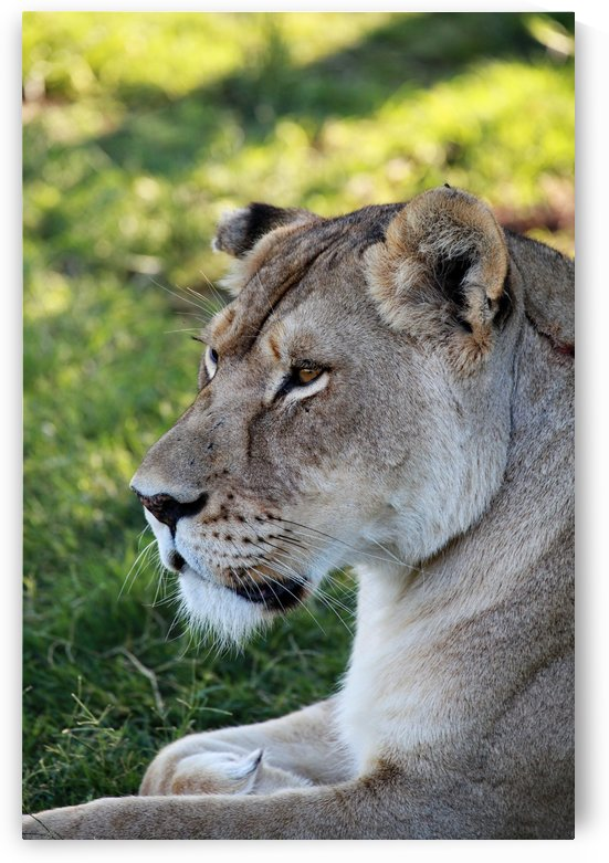 Lion Female 7996 by Thula-Photography