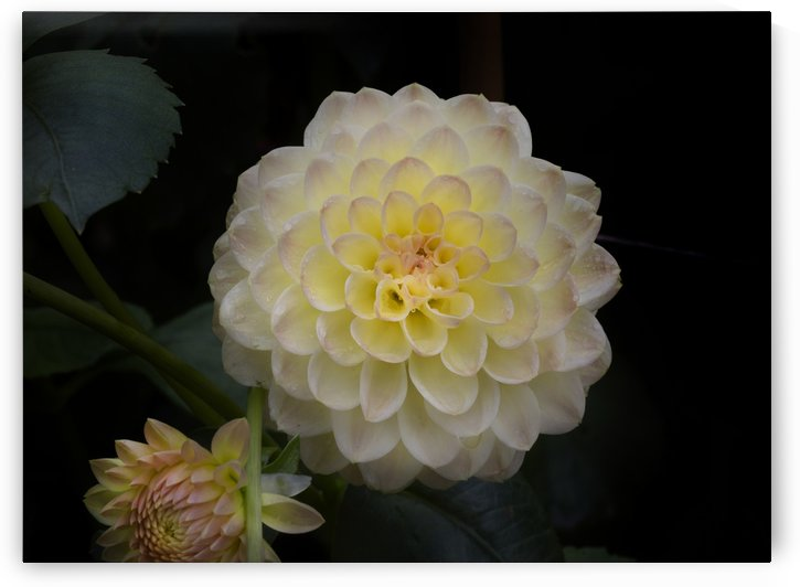 Dahlia the national flower of Mexico. by Leighton Collins