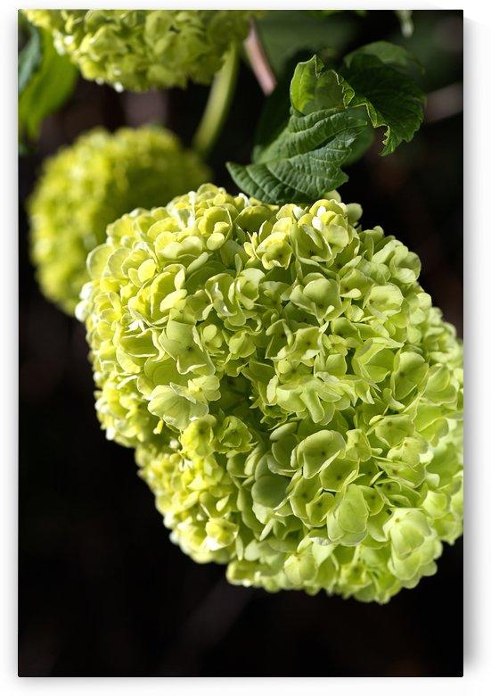 Green Snowball Flowers by Joy Watson