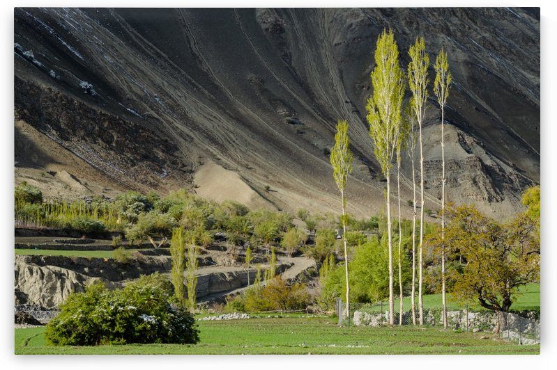 Poplar trees Leh Ladak India by Em Campos