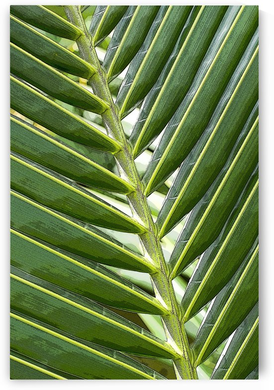 Coconut Palm 2 by Ian Barr