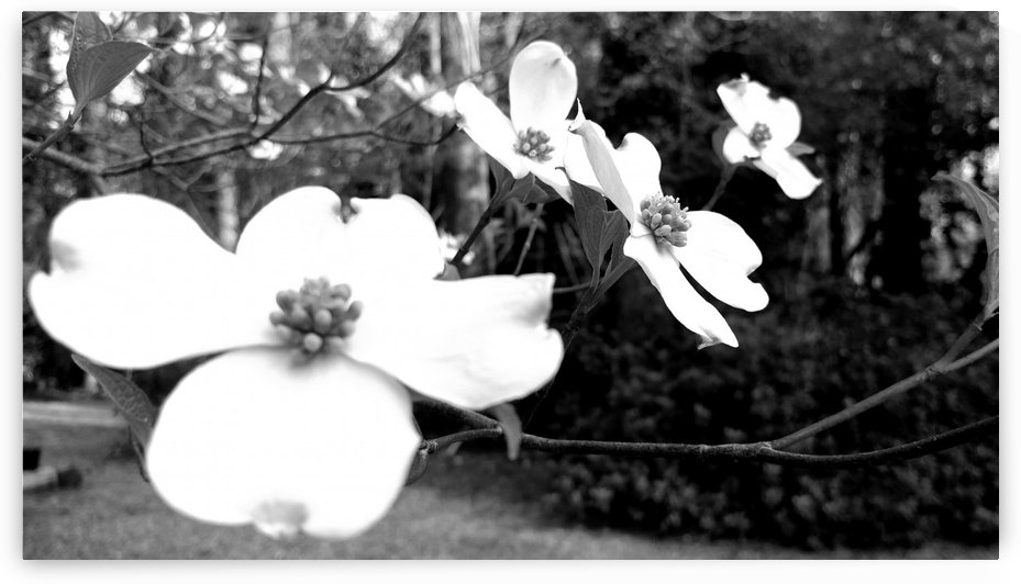 North Carolina Dogwood Flowers  by Anita-Marie