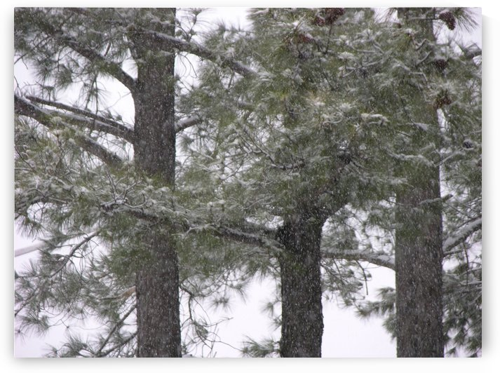 Pine Trees In Snow Photograph by Katherine Lindsey Photography