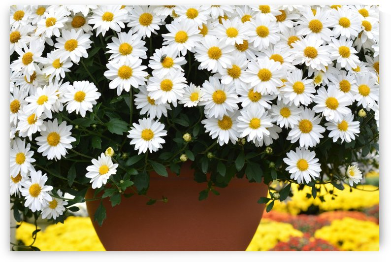 White Flowers In Hanging Pot White Flowers Canvas Print White Flowers Photograph 889 by Katherine Lindsey Photography