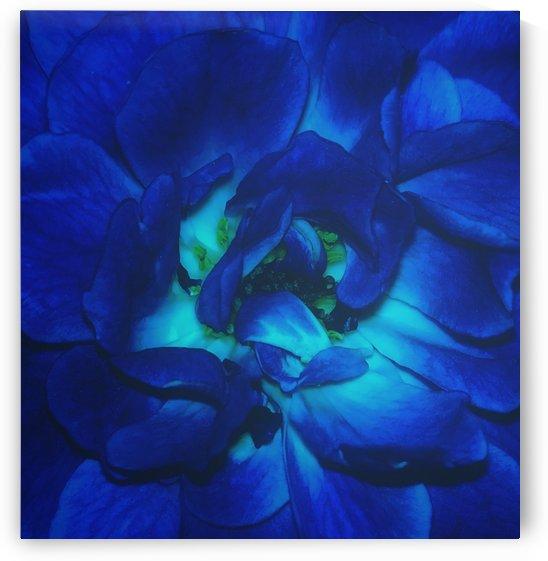 Blue Rose    by rizu_designs