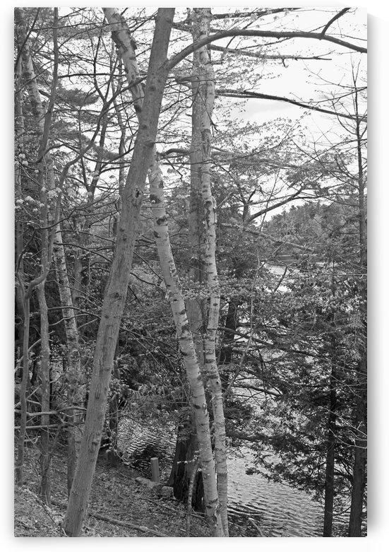 Through The Trees B&W by Gods Eye Candy