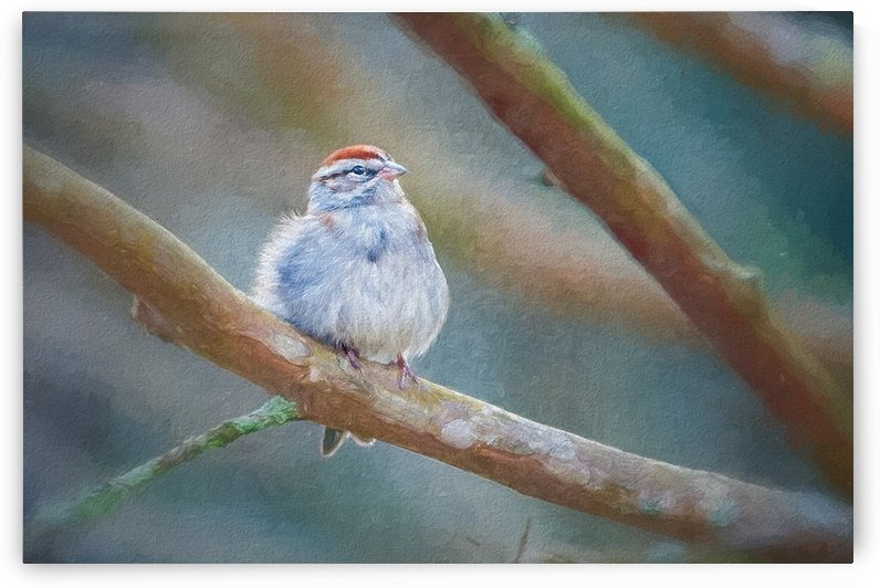 Chipping Sparrow by Ricky A Richardson