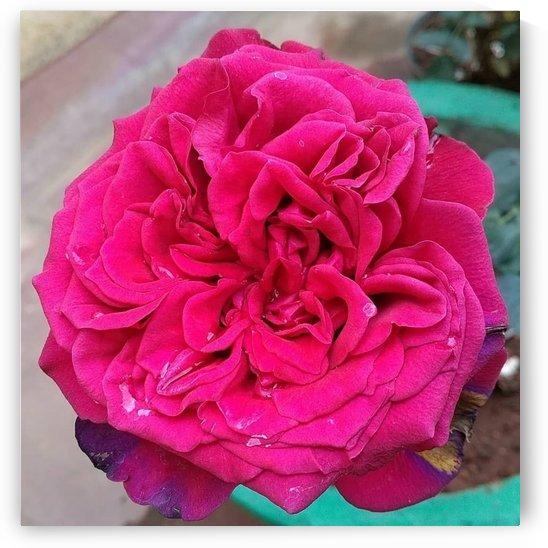Beautiful Fragrant Rose by rizu_designs