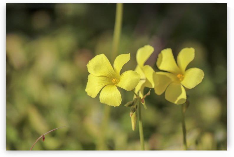 Two yellow flowers. Nice French Riviera by PICS EMOTION by Tatiana RAVVA