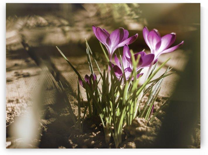 Crocuses Spring garden by PICS EMOTION by Tatiana RAVVA