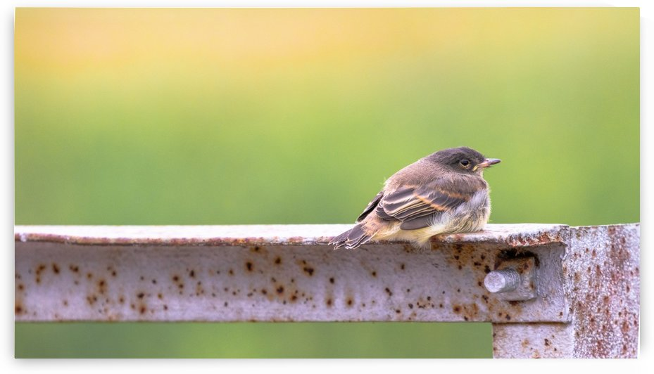 Fledgling Eastern Phoebe by Joe Riederer