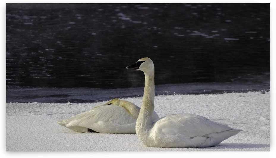 Trumpeter Swans on Ice by Joe Riederer