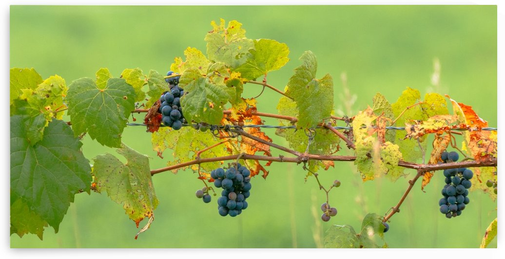 Wild Grapes on fence by Joe Riederer