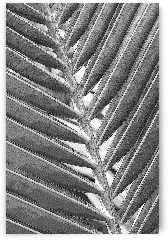 Coconut Palm 2 B&W by Ian Barr