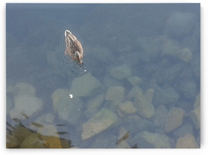Swimming duck by RollaD