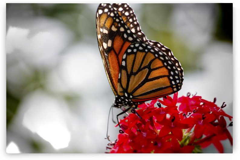 Monarch Butterfly on Flower by Connie Maher