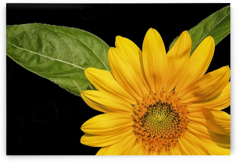 Sunflower on Black Background by Connie Maher