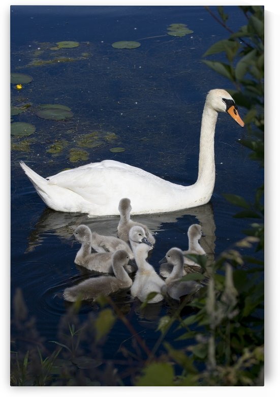Swan and sygnets by Connie Maher