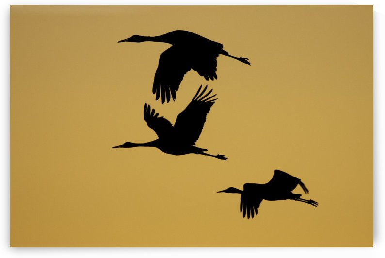 3 Sandhill cranes in silhouette by Joe Riederer