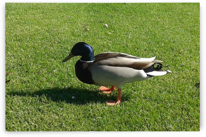 Duck walking on green grass by RollaD