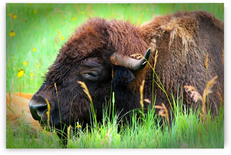 Bison Resting by Connie Maher