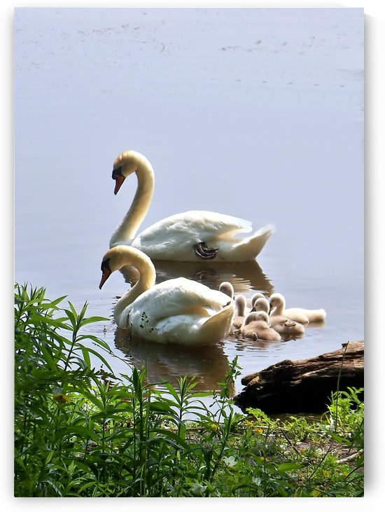 Swans and Sygnets on lake by Connie Maher