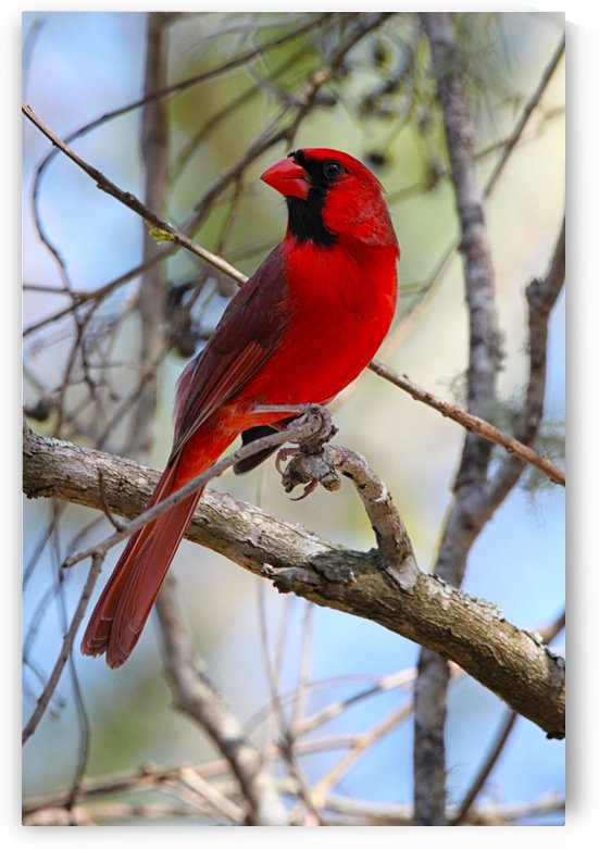 Cardinal in tree by Connie Maher