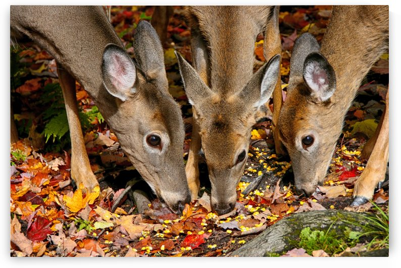 Doe and two fawns by Connie Maher