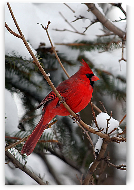 Vertical Cardinal by Connie Maher