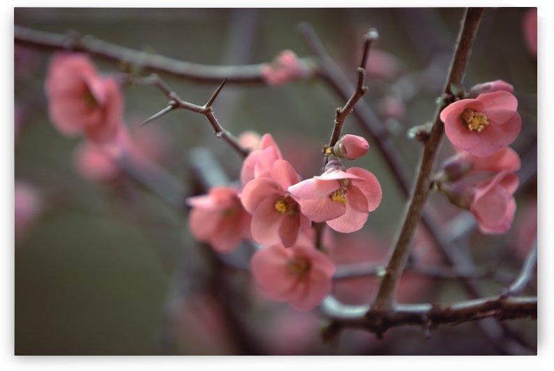 Blossom. French Riviera Nice by PICS EMOTION by Tatiana RAVVA