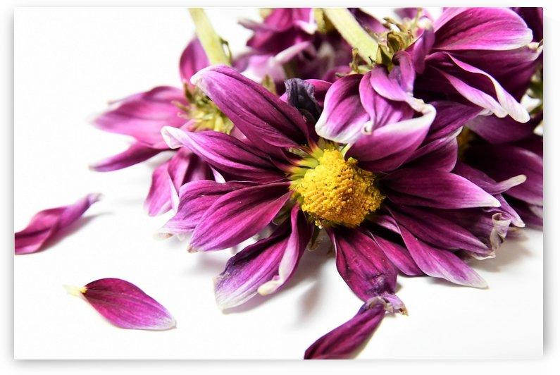 Faded Purple Daisy by Karen Janczak